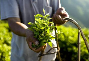 安溪铁观音制作方法|铁观音茶叶加工流程