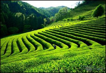 中国青茶(乌龙茶)及其特性|茶叶知识