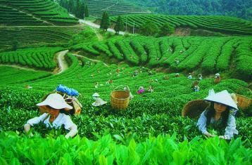 现代的制茶方法|中国制茶方法