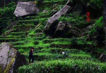 武夷岩茶的山场与口感该如何选择?|岩茶口感