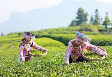 冻顶乌龙茶保质期介绍|台湾高山茶保质期多长?