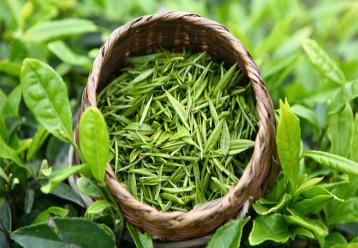 茶叶水分测定方法标准|茶叶标准