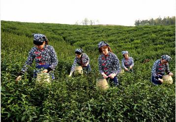 开阳拟采取系列奖补扶持措施发展茶产业