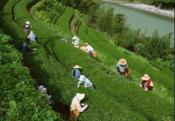 畲族自治县出台少数民族发展茶产业扶持政策