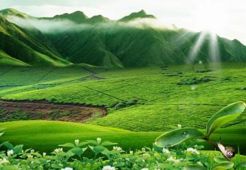 黄山毛峰原产地试点茶叶政策性保险