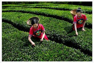 8亿资金助跑祁门茶产业|祁门红茶