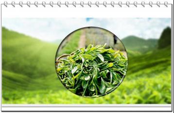茶树新品种--龙井长叶|茶叶科技成果