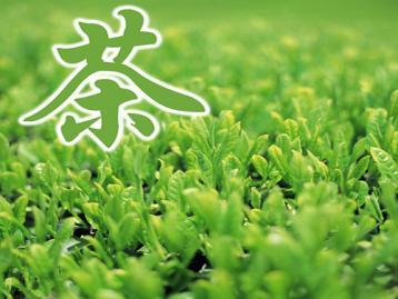 茶树新品种--菊花春|茶叶科技成果