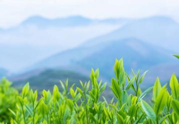 茶树新品种--碧云