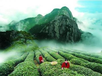 茶树新品种--中茶102|茶叶科技成果
