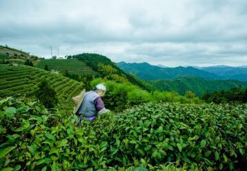 茶园采茶图|茶叶采摘图片素材