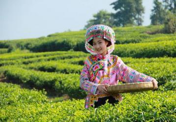 高山茶园采茶图|采茶美女图