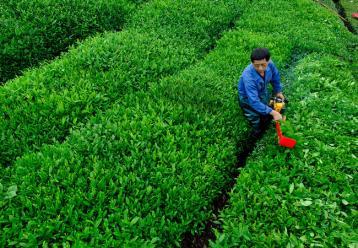 机械采茶图|机械化采摘茶叶
