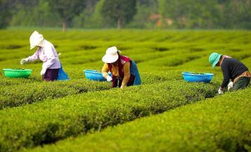福建安溪:暑茶采摘茶乡美|铁观音采摘