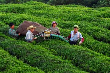 茶叶采摘机图片|机械采茶图