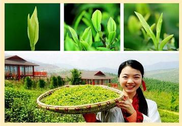 远安黄茶图片素材|茶叶图片