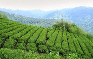 台湾乌龙茶的制作工艺