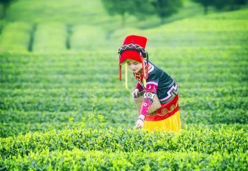 福鼎白茶的茶歌、茶谣、快书、茶诗