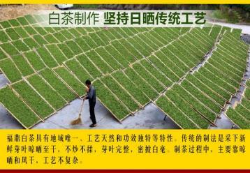 取法天然的福鼎白茶制作工艺