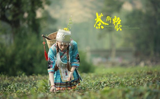 霍山黄芽采摘