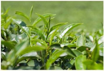 庐山云雾茶的特点、品质