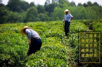 六安瓜片属于什么茶?