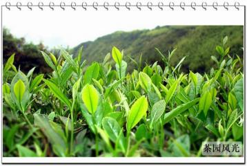 陕西午子仙毫茶叶的采制工艺