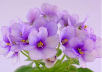 """""""紫罗兰""""---花茶面膜"""