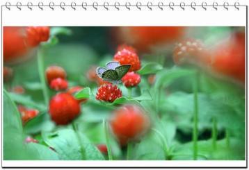 红巧梅花茶:春夏美白 由内而外