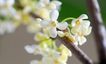 蜂蜜桂花茶功效是什么