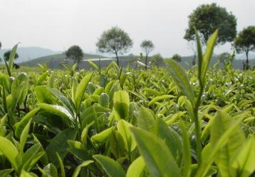2016年云南普洱茶原料价格茶商最新报价