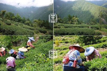 台湾冻顶乌龙茶价格查询