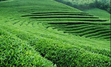 莫干黄芽价格|黄茶价格