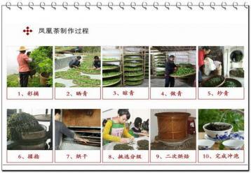 凤凰单枞茶的制作流程