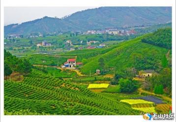 安吉白茶园风景图|茶山摄影图