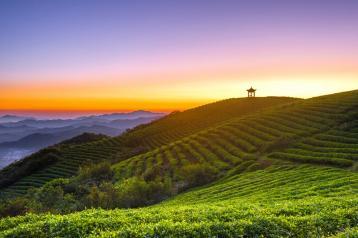 茶园日出图片|茶山风景图