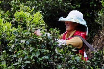 原生态茶山采茶图|云南无量山茶园