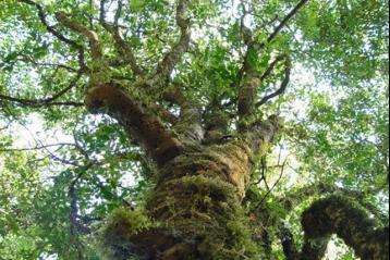 云南古茶树图片|普洱古茶树图