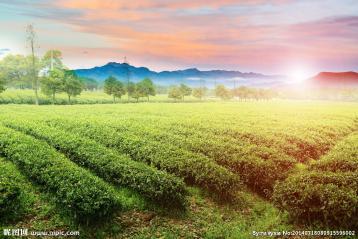 茶园风光摄影图|茶园壁纸下载