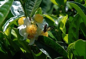 茶树茶花摄影图|茶树之花