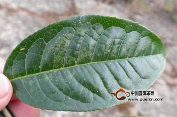 云南野生古树茶资源