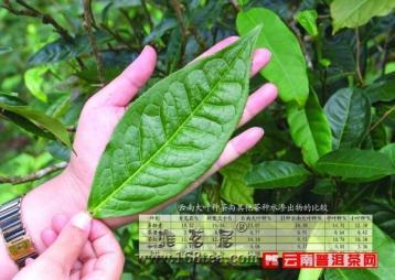 普洱——神奇大叶种