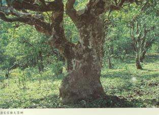 孟连腊福黑山野生古茶树和澜沧邦崴过渡型古茶树简介(组图)