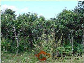 勐海贺开古茶山:世界最大连片百年古茶园