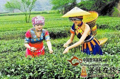 茶树 产地 茶树的原产地