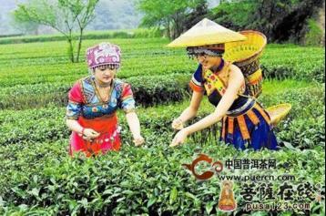 云南:世界茶树的原产地