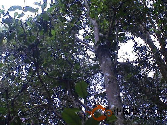 景谷 茶树