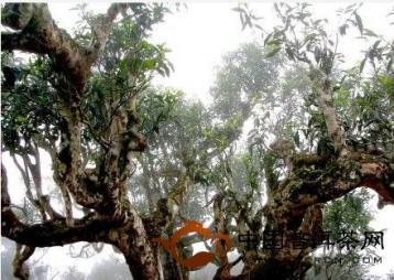 植物:普洱茶