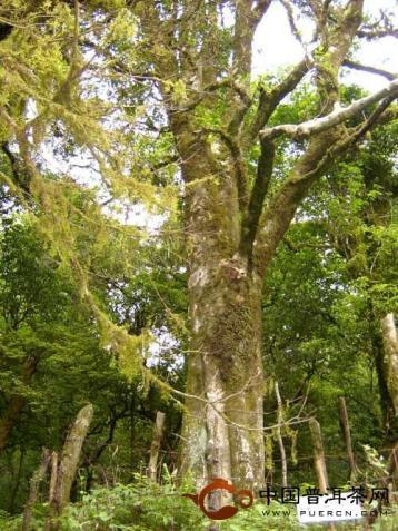 困卢山和澜沧帕令黑上野生古茶树群落的介绍