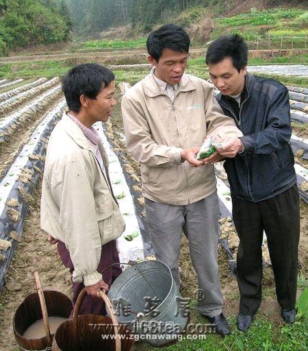 茶园 茶树 茶叶品质